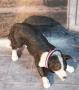 LED Hundehalsband Pink XS