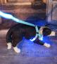 LED Hundegeschirr Blau L