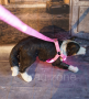 LED Hundegeschirr Pink M