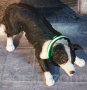 LED Hundehalsband Grün