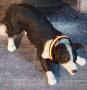 LED Hundehalsband Gelb M